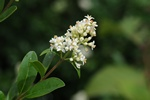 Privet (Ligustrum vulgare)